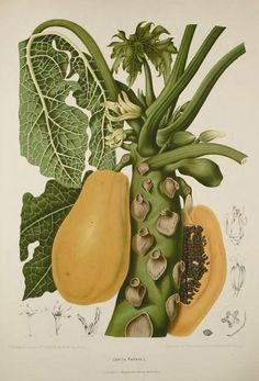 Exotic Botanical Illustrations of Berthe Hoola Van Nooten 1880 - Vegetable Illustration, Plant Illustration, Botanical Illustration, Technical Illustration, Antique Illustration, Botanical Drawings, Botanical Prints, Impressions Botaniques, Scientific Drawing