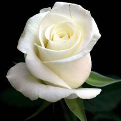 A beautified white rose of pureness . A rose of all faithfulness. A rose of truth. A rose of Innocence. A rose of purification. A rose is a rose. My Flower, Pretty Flowers, White Flowers, Red Roses, Birth Flower, Colorful Roses, Bloom, Foto Rose, Coming Up Roses