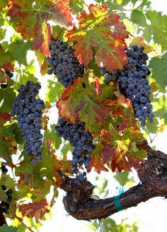 Zinfindel Grapes