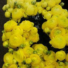 Sunny yellow ranunculus - Bare Mtn Farm