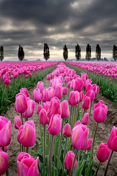 Stunning Pink Tulips - appreciating beauty! Bring the elegance of this natural scenery into the interiors of your home with glowing marble surfaces. Visit: www.TheMarbleMan.com.au