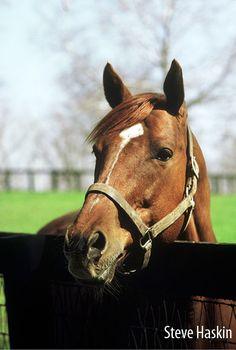 Secretariat. Article: When Big Red was Little Red, interviews with folks who remember Secretariat as a foal, weanling and yearling and  at the Meadows