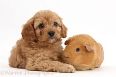 Pets: Cavapoo pup, 6 weeks old, and red Guinea pig.