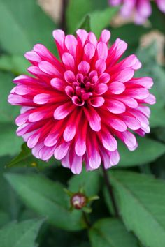 Double Orchid Flowering, Stellar Dahlia 'Ruby Murray'
