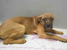 BROOKLYN Center BARINDIE – A1072931 FEMALE, BROWN / WHITE, AM PIT BULL TER, 6 mos OWNER SUR – EVALUATE, NO HOLD Reason TOO MANY P Intake condition EXAM REQ Intake Date 05/09/2016, From OUT OF NYC, DueOut Date 05/09/2016, I came in with Group/Litter #K16-056547. Urgent Pets on Death Row, Inc