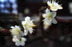 Sketch On Kyoto: White Plum Blossoms