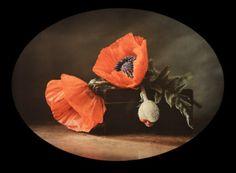 Autochrome of poppies, d'André Chapon, vers 1930