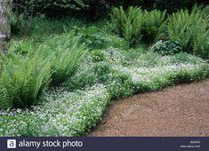 sweet woodruff - Google Search Sweet Woodruff, Norfolk England, Woodland Garden, Garden Photos, The Great Outdoors, White Flowers, Paths, Images, Backyard