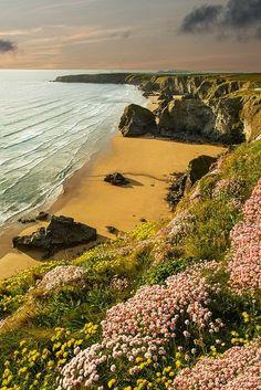 Pink Wild flowers, Bedruthan Stepps, Cornwall, England