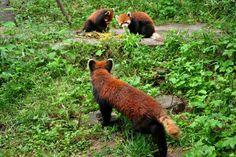 rote Pandas in der Chengdu Panda Base, Sichuan, China