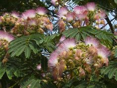 I have this in my yard!!  The Mimosa Tree..so beautiful...