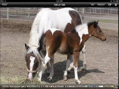 The mare is misty of chincoteague and the foal is stormy misty's foal