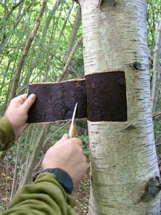 Birch Bark harvesting tutorial - birch makes lovely crafts like baskets and picture frames