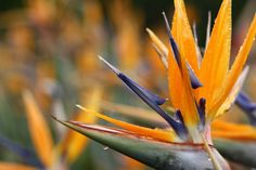 Strelitzia / Birds of Paradise by Jess Sara Wright, via Behance