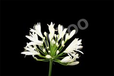 Agapanthus from Lobiloo