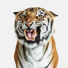 Bengal Tiger No. 2