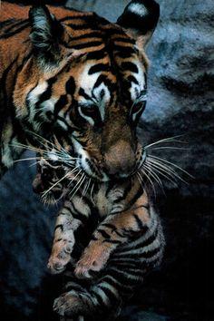tiger & cub  |  National Geographic, Dec. 1997
