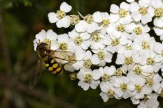 5 Herbs To Include In A Butterfly Garden: Yarrow