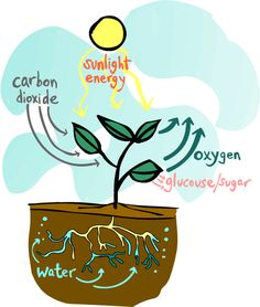 Photosynthesis.food chain. food web. decomposers. producers. consumers
