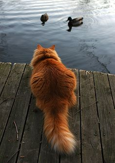 cat & ducks by David McCudden on Flickr.