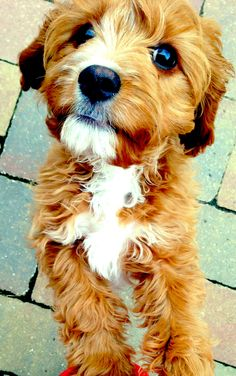 Labradoodle / Goldendoodle Golden Retriever x Standard Poodle Puppy Dog Puppies Hound Dogs