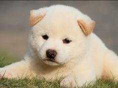 柴犬♡白柴♡子犬