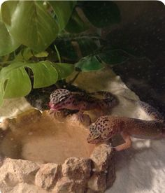 How to Create a Habitat for a Leopard Gecko: 9 Steps