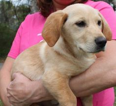 Meet Daisy 22163, a Petfinder adoptable Yellow Labrador Retriever Dog | Prattville, AL | Daisy is an 8-week-old female Yellow Lab/Basset Hound mix. She is yellow and weighs 15 pounds....
