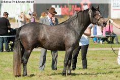 Connemara - stallion Symphatil O'Neill