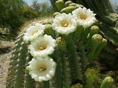 Saguaro cactus blossoms.