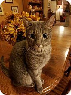 Surprise, AZ - Domestic Shorthair. Meet Stormy, a cat for adoption. http://www.adoptapet.com/pet/15608413-surprise-arizona-cat