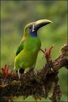 ~ photographer : Chris Jimenez - Emerald Toucanet (Aulacorhynchus prasinus) - Virgen del Socorro, Costa Rica