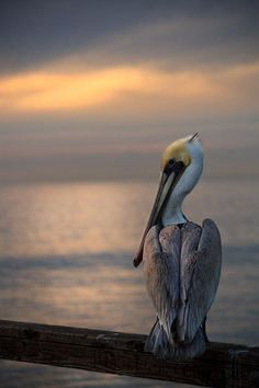 Pelican sunset.