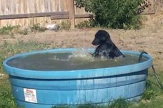 Teal the black Labrador is really good at swimming, and even better at splashing. An adorable video posted online shows the dog making a wet mess in a pool in Moses Lake, Washington. Labrador Noir, Labrador Retriever Dog, Black Labrador, Black Puppy, Black Lab Puppies, Dog Search, Network For Good, Kiddie Pool, I Love Dogs