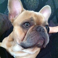 French Bulldog, what beautiful eyes.
