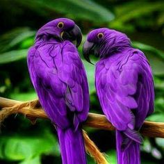 Purple Hyacinth Macaws - With a length (from the top of its head to the tip of its long pointed tail) of about ft., it is longer than any other species of parrot. It is the largest macaw and the largest flying parrot species. Purple Bird, Purple Love, All Things Purple, Purple Rain, Shades Of Purple, Purple Stuff, Deep Purple, Pretty Birds, Love Birds
