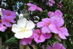 O Manacá da Serra e uma arvore, pertence a família Melastomaceae, nativa do Brasil, perene, de 7 a 12 metros de altura, com tronco de 20 a 30 cm ..........