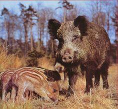 Porquets senglars amb la seva mare