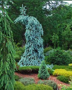 Picea pungens 'Skyline' in the heather garden, cadysfallsnursery