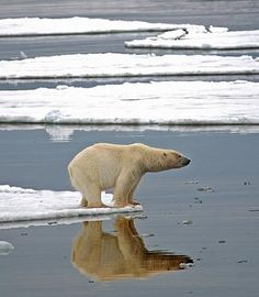 The island of Spitsbergen in the High Arctic is where the Polar Bears live.