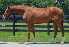 "Sportello is an off-the-track Thoroughbred currently available for adoption at the Maker's Mark Secretariat Center. Sportello (aka ""Sport"")  DOB: 2012. Gender: Gelding. Height: 16.3hh. Sire: Noble Causeway. Dam: Mizlala."