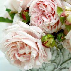 KORDES Rosen Constanze Mozart ® - Parfuma - Unsere Lieblinge Die schönsten Rosen der Welt