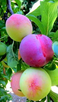 Fruit And Veg, Fruits And Veggies, Fresh Fruit, Vegetables, Fruit Plants, Fruit Garden, Fruit Trees, Beautiful Fruits, Beautiful Flowers