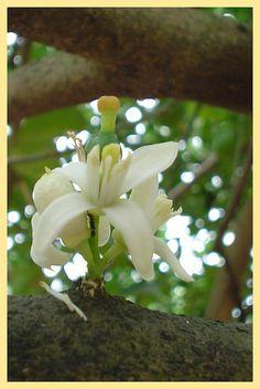 Flower of the Lemon Tree- Comalcalco, Tabasco, Mexico