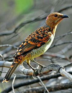 Spotted Bowerbird (Chlamydera maculata). Es un ave de la familia Ptilonorhynchidae que se encuentra en el interior de Queensland y Nueva Gales del Sur, Australia.