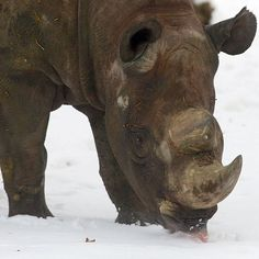 A rhinoceros tastes some snow in its enclosure at the zoo in Leipzig, eastern Germany Picture: PETER ENDIG/AFP/Getty Images