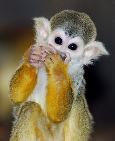 Squirrel monkey- looks like it has gloves on !