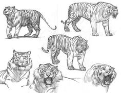 ryanlangdraws:  Some old tiger studies for a personal/school project that was a take on Beowulf and Grendel. The tiger was supposed to be Grendel, a Nazi experiment, and his cave was a crashed bomber.