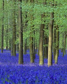 A colourful carpet of Bluebells amongst the straight trunks of the trees in Dockey Wood on the Ashridge Estate, UK