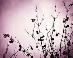 """Nature Photography - purple wall art plum black print violet branches branch pink dark modern photo, 11x14, 8x10 Photograph, """"Withered"""""""